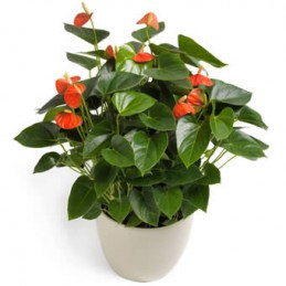 Anthurium in pot rood