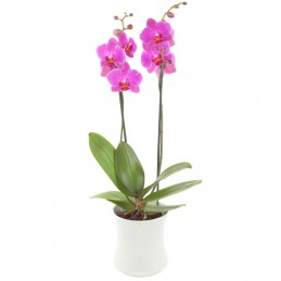 Orchidee in pot Roze